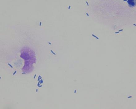 Bacteriële blaasontsteking (Hond)